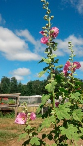 hollyhocks and the clouds