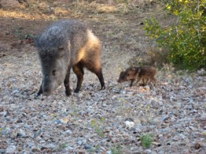 wild-javelina-and-babies-fo