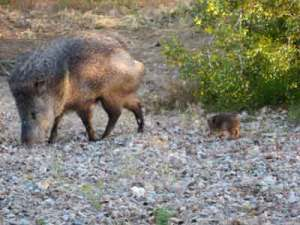 Javelina-Backyard-2 (2)
